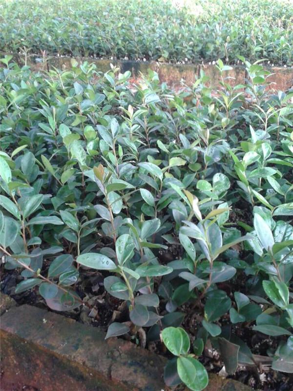 求购油茶小苗200株-种苗产品